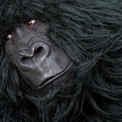 Gorillas_close_up.jpg